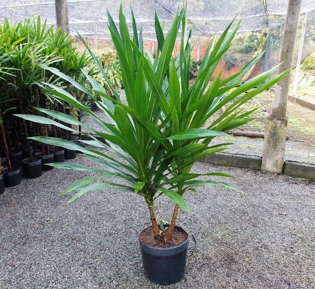 planta-dracena-arborea-quem-realiza