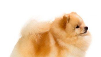 6 curiosidades sobre o Lulu da Pomerânia - a raça de cão mais popular do Brasil 2